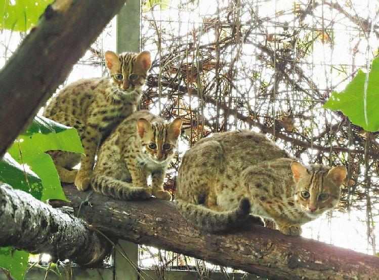石虎是台湾野外仅存的猫科动物