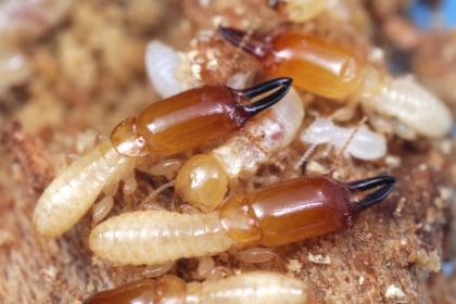 穿山甲木鼻白蟻的兵蟻與工蟻(有黑色大顎)
