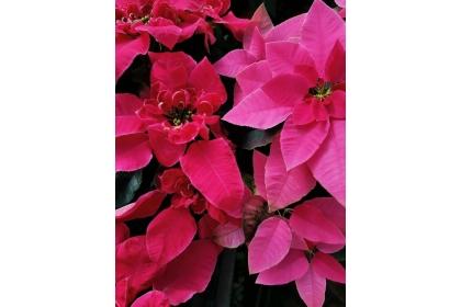 興大園藝系培育的新品種「女神」(左)立體蓮瓣花型,花型表現特殊且生動,突破傳統聖誕紅(右)苞片平整的特性。記者喻文玟/攝影