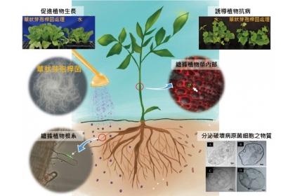 蕈狀芽孢桿菌的菌落型態與病害防治機制。(照片提供/國立中興大學教授黃振文;插畫設計/陳郁璇)