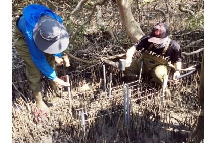 興大團隊在七股紅樹林進行研究