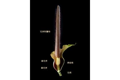 台南市新化林場推出密毛魔芋季,推廣讓更多人認識台灣的「臭美大王花」。圖/新化林場提供
