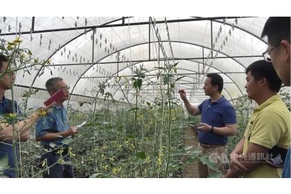 在駐泰代表處牽線下,中興大學國際產學聯盟和農委會農業試驗所14和15日拜訪泰國天賜農場,希望繼10多年前的合作後,再度為台灣和天賜農場搭起合作橋梁。圖為參訪天賜農場番茄溫室。(資料照片)