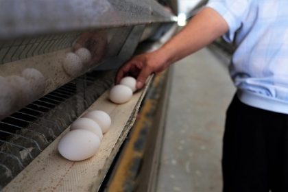 避免雞蛋殘留不明物質,應從管理禽場環境著手。