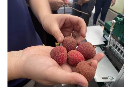 經過脫粒機的荔枝順利去除掉枝條,符合台北農產公司及外銷的規定。(張亦惠攝)