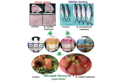 Fig.2. Multi-industry applications of Bacillus subtilis and Bacillus licheniformis based on probiotic products. The probiotic products can be used in crop health care, and in the livestock and aquaculture industries. B. subtilis can protect the wax apple