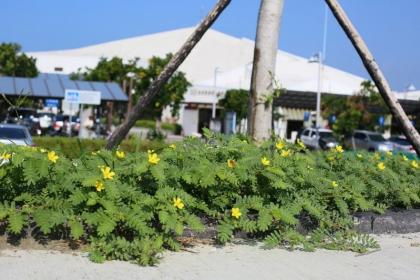 台江國家公園管理處內台江學園,適合多樣原生植物生長,圖為台灣蒺藜。圖/台管處提供