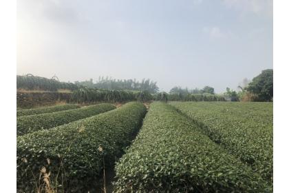 名間鄉是國內最大的茶葉產區,但常和鳳梨、火龍果等間作,容易出現空飄農藥殘留問題。記者江良誠/攝影