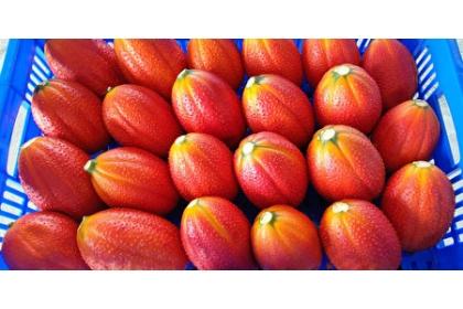 木虌果台東1號果形端正,果實橙紅亮眼。(臺東農改場提供)