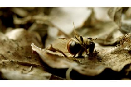 【公視】《蜂狂2》紀錄片中,蜜蜂逝去的畫面。