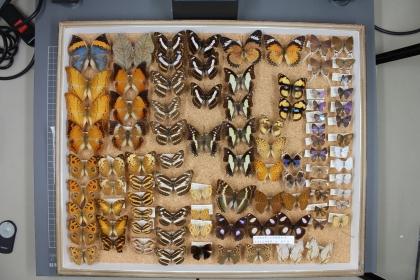The insect specimens donated by Nobuhiro Yoshida.