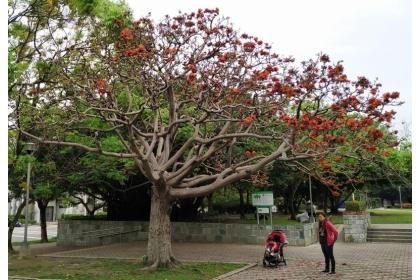 興大幫樹「打針」,百餘顆病樹重現生機開花。(圖:興大提供)