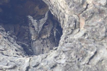 中興大學新化林場桃花心木樹洞中,正在育鶵的領角鴞。圖/謝詠印提供