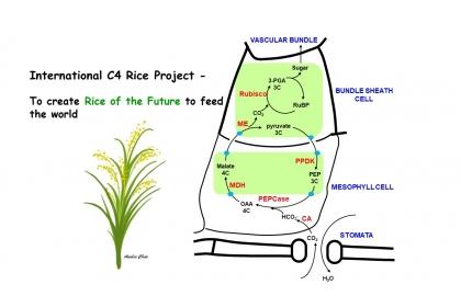 中興大學與中研院合作 積極參與國際C4水稻研究第四期計畫