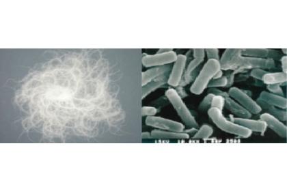 圖一:蕈狀芽孢桿菌的形態