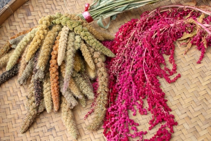 【農傳媒】小米、紅藜是部落傳統作物,部落自行復育保種的小米達到21種品系。(攝影/汪文豪)