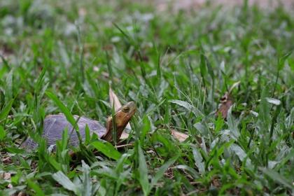 吳聲海說,食蛇龜10年前的數量跟現在少了超過一大半,主要就是不停被盜獵。(圖/中興大學提供)