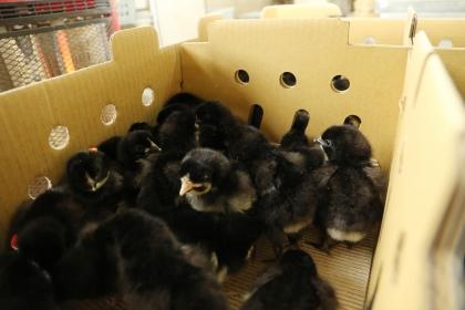 300隻1日齡的金門雛雞,在中興大學孵化後,隨即在興大動科系團隊的護送下,展開返鄉之旅。