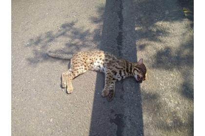 圖為石虎小草第一次遭遇車禍,牠在國道三號 220.8k 北上路肩被發現,仍有呼吸,送至特生中心野生動物急救站醫療。高公局/提供
