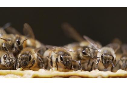 【公視】公共電視推出「蜂狂2」紀錄片,探討蜜蜂消失現象的背後,可能隱藏的環境汙染問題。圖/公視提供
