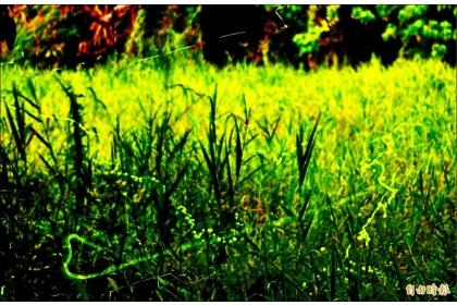黃緣螢因發光頻率的關係,透過鏡頭長曝,會形成流動軌跡。(記者吳俊鋒攝)