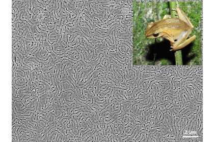 模仿青蛙皮膚(右上角)所製備的多功能仿生塗層表面型態。