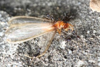 台灣家白蟻是台灣常見的物種,分布在北部、中部及東部地區。(圖片提供/李後鋒)