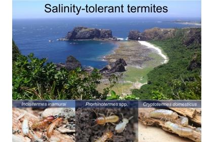 台灣東海岸與棲息的耐鹽白蟻物種。左至右,稻村楹白蟻、原鼻白蟻、截頭堆砂白蟻。