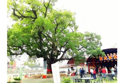 南投縣集集鎮大眾爺廟旁的樟樹已700多歲,日前經鎮公所邀樹木專家搶救,讓老樹恢復生機,近百名志工與學生27日進行「謝樹禮肥」活動,感謝老樹公庇護也祈禱老樹公明年依然健康。
