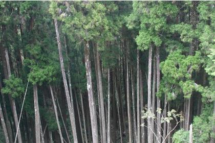 未經疏伐的人工林,樹木生長過密(王升陽提供)