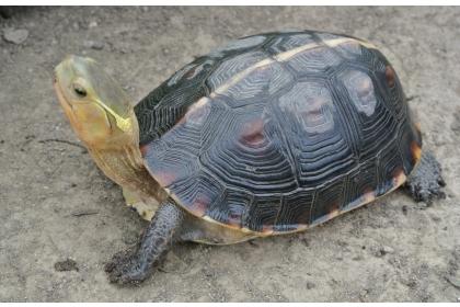 食蛇龜保育等級已由「珍貴稀有」提升至「瀕臨滅絕」。(圖/中興大學提供)