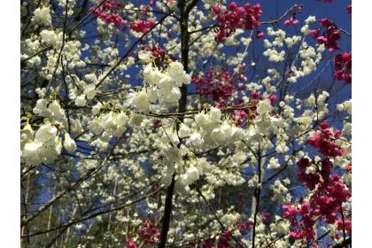白色山櫻花與桃紅色山櫻交錯。記者陳妍霖/攝影