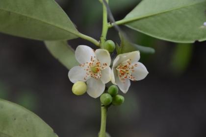 森氏紅淡比是曾彥學推薦可種植於臺北市的行道樹,是臺灣特有種。