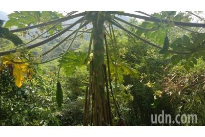 陳姓農婦說所種的雄木瓜,竟然也結果實,讓她驚訝不已。專家則說這是雌雄同株的兩性株。記者白錫鏗/攝影