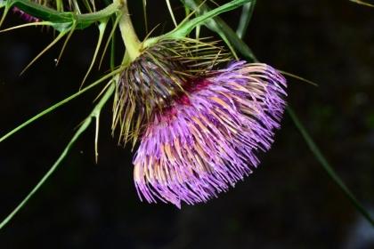 千元鈔背面左下角的植物,經曾彥學鑑定發表為新種「塔塔加薊」;這些珍貴植物可能有賴方舟計畫保護,曾彥學也希望國人多認識國內原生植物。圖片提供/曾彥學