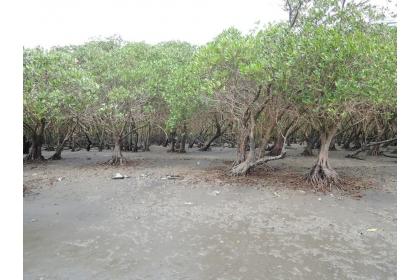 興大生科系教授林幸助研究團隊花了4年時間,量化台灣的紅樹林生態系,因樹密度高,每年每公頃可吸收高達100公噸的二氧化碳。圖/興大林幸助提供