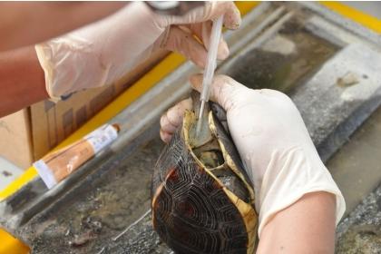 【聯合報】中興大學食蛇龜保育團隊為食蛇龜打晶片。圖/日月光文教基金會提供