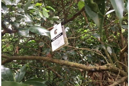 3所大學昆蟲系合作在八卦山脈員林、社頭山區,利用無人機空投平腹小蜂卵片到無人管理的荔枝和龍眼果園。記者何烱榮/翻攝