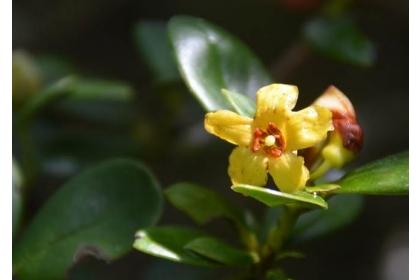 南投縣杉林溪有若干生長在位置不高的「著生杜鵑」,相較其他中海拔山區所發現者,顯然容易親近多了;圖為6月2日在杉林溪綻開的著生杜鵑,金黃色的花朵,與一般粉紅到深紅色系杜鵑,明顯不同。(沈揮勝攝)