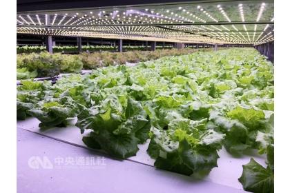 源鮮智慧農場利用環境控制等技術,例如LED人工光源,栽種福山萵苣等蔬菜。中央社記者李欣穎攝