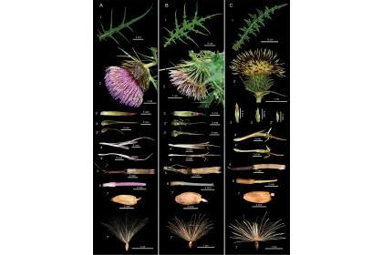 塔塔加薊(左1)與玉山薊(中)在葉子及花的外觀形態很有大的不同。