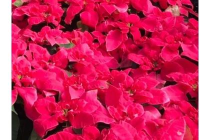 興大園藝系培育的新品種聖誕紅「女神」立體蓮瓣花型,花型表現特殊,花色非典型紅色苞葉,呈色是鮮豔的桃紅色。記者喻文玟/攝影
