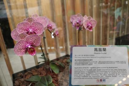 花博后里園區花舞館蘭花廳展示楊長賢教授之「鳳凰蘭」。