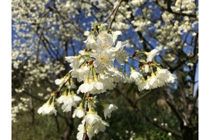 台灣山櫻花的白色品種較為少見。記者陳妍霖/攝影