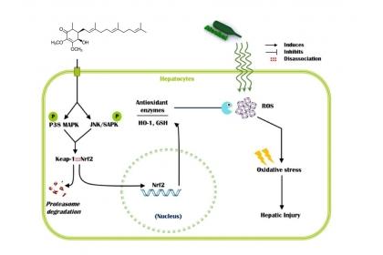 圖一:透過Nrf2 / ARE訊息傳導路徑Antroquinonol可提高抗氧化劑基因的表現,可抑制因酒精誘導的人類肝的氧化傷害和肝損傷。