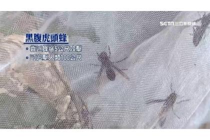 黑腹虎頭蜂攻擊力強且可追擊人類100公尺。