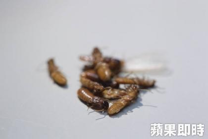 蘋果重回現場,發現是台灣家白蟻的翅王族,因目前為繁殖季,才會成群聚集。洪舜南攝