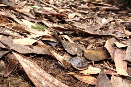 食蛇龜生活在海拔1000公尺以下的淺山森林。(圖/中興大學提供)