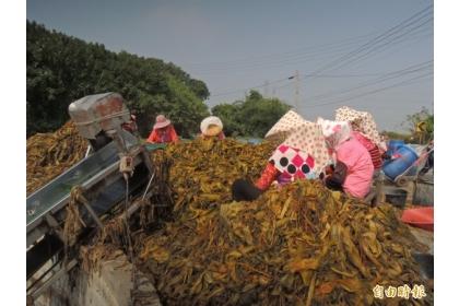 大埤鄉是國內重要酸菜生產區。(記者黃淑莉攝)