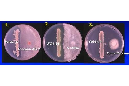 枯草桿菌和病菌之間的拮抗表現,可看出病菌都不敢靠近枯草桿菌。下圖左邊為枯草桿菌,右邊為水稻病菌紋枯病菌、白絹病菌、徒長病菌(由左至右)(圖片提供/ 曾德賜)